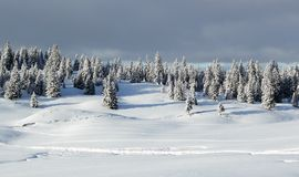 Fir tree in winter, Jura mountain, Switzerland Stock Photo