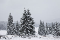 Fir tree in winter Royalty Free Stock Image