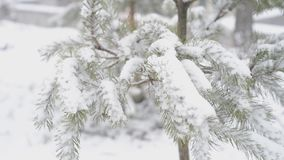 Fir tree in winter. In snow daylight stock footage