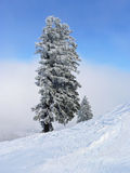 Fir tree at wintry slope Stock Photo