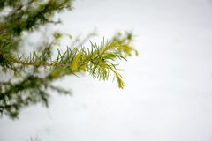 Fir-tree young needles Stock Photo