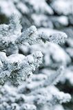 Fir Trees Royalty Free Stock Images