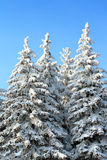 Fir trees Stock Photo