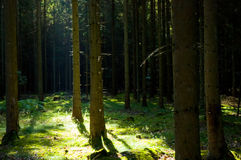 Fir trees. Dark fir trees in sunlit forrest Royalty Free Stock Photo