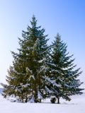 Fir Trees Stock Image