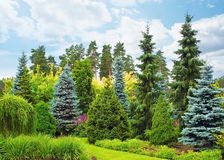 Fir trees Royalty Free Stock Photos