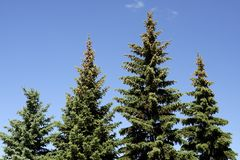 Fir Trees. Four fir trees standing in a row Royalty Free Stock Image