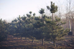 Fir Trees Royalty Free Stock Photo