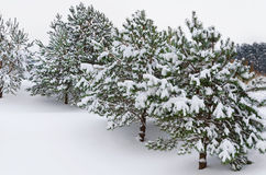 Fir Trees Stock Photos