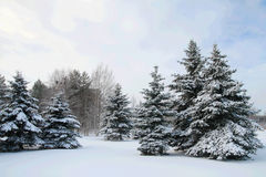 Fir-trees. A group of fir trees covered in snow Royalty Free Stock Photo