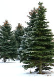Fir-trees Royalty Free Stock Image