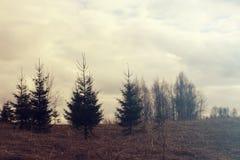 Fir-trees Στοκ φωτογραφίες με δικαίωμα ελεύθερης χρήσης