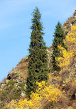 Fir trees in alps Stock Image