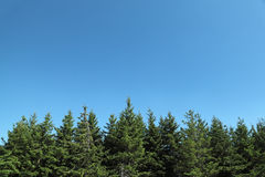 Fir trees with blue sky Stock Images