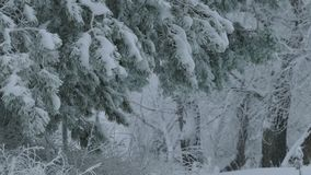 Fir trees branch in snow wild forest Christmas winter snowing. Fir trees  branch in snow wild forest Christmas winter snowing stock video