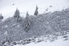 Fir trees and bush covered with snow Royalty Free Stock Photography