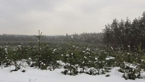 Fir-trees (christmas trees) wide landscape winter view. Stock footage stock footage