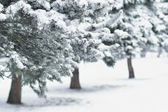 Fir Trees in City Park. At Daytime royalty free stock photos