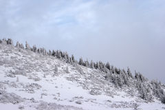 Fir trees climbing a mountain slope Stock Photos