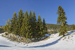 Fir trees clump. Serene winter landscape with an isolated fir trees clump in a snowy mountain meadow on a sunny day Stock Images