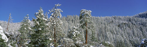 Fir trees covered by snow Royalty Free Stock Images