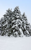 Fir trees covered by snow Stock Image