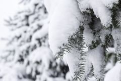 Fir trees covered snow Beautiful Winter landscape scene background with snow covered trees Beauty winter backdrop Frosty trees in. Snowy forest Branches with stock image