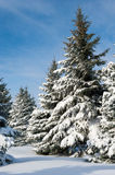 Fir trees covered by snow Stock Images