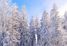 Fir trees covered by snow and hoarfrost stock photos
