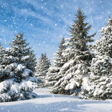 Fir trees covered by snow Stock Photos