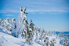 Fir trees covered with snow Stock Images
