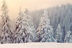 Fir trees covered with snow at sunset Royalty Free Stock Image