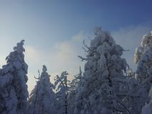 Fir trees covered in snow Royalty Free Stock Photos