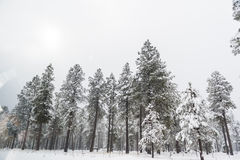 Fir trees covered with snow Royalty Free Stock Photography
