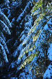 Fir trees covered with snow Stock Image
