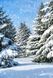 Fir trees covered by snow Royalty Free Stock Photography
