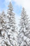 Fir trees covered with snow on a winter mountain on clear sunny Royalty Free Stock Photos