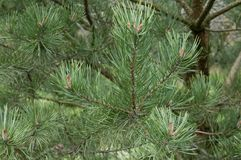 fir trees detail view Stock Photography