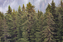 Fir Trees with Eagles Royalty Free Stock Photos