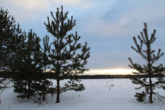 Fir trees on the field on a winter evening. Stock Photography