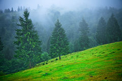 Fir trees in fog. Fir trees in morning fog, hill slope, late summer Stock Images