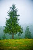 Fir trees in fog Royalty Free Stock Photos