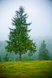 Fir trees in fog royalty free stock photos