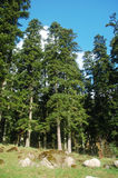Fir trees forest royalty free stock photos