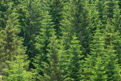Fir trees forest background Stock Images