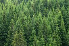 Fir trees forest background Stock Image