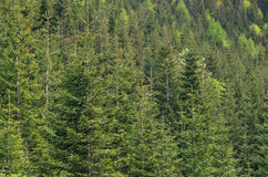 Fir trees, forest environment, nature background Royalty Free Stock Photo
