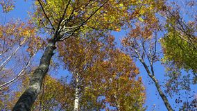 The fir trees. In the forest in the fall stock video footage