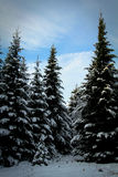 Fir trees in a forest during winter Stock Photo