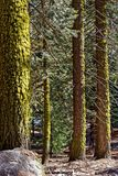 Fir trees in Yosemite National Park. Fir trees in the forest in Yosemite National Park in California stock photo
